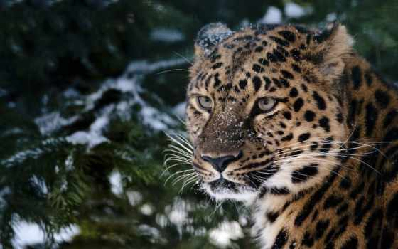 леопард, лесу, хвойном, леопарды, снег, животные, лес,