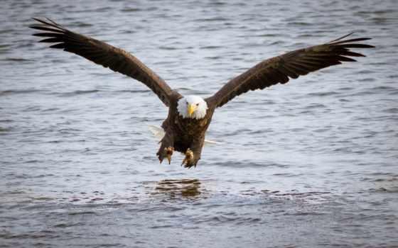 рыбалка, орлан, белоголовый, птица, хищник, water,