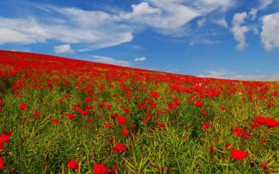 поле, цветы, маки