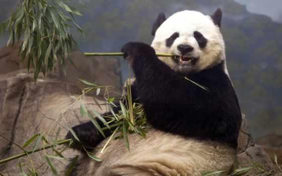 панда, панды, кушает, милые, красная, бамбука, самые, янв, медведи, бамбук, ест,