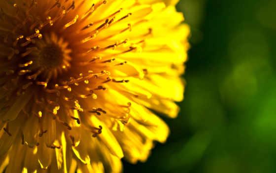 макро, серединка, цветы, желтая, desktop,