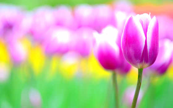 flowers, фон, размытость, розовый, тюльпан, photography, desktop, purple, поле,