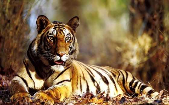 тигр, взгляд, лежит