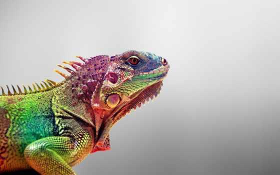 colorful, ящер, природа