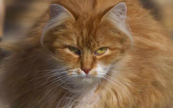 кот, kot, rudy, puszysty, пушистый, red, pulpit,