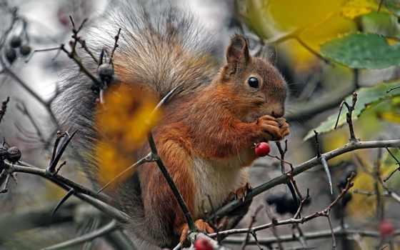 wiewiórka, drzewo, jarzębina, jarzębiny, na, liści