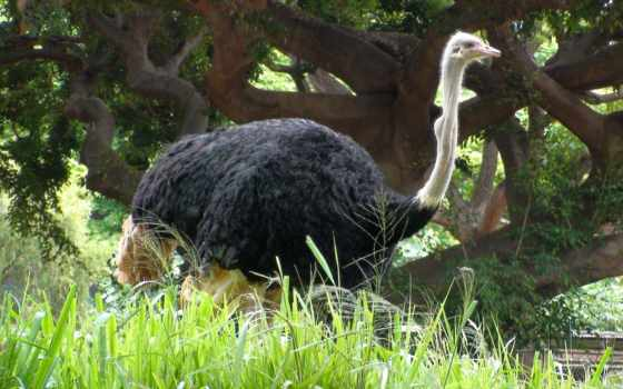 ostrich, image, this, category, wallpaper, uploade