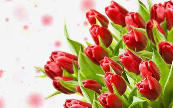цветы, тюльпаны, взгляд