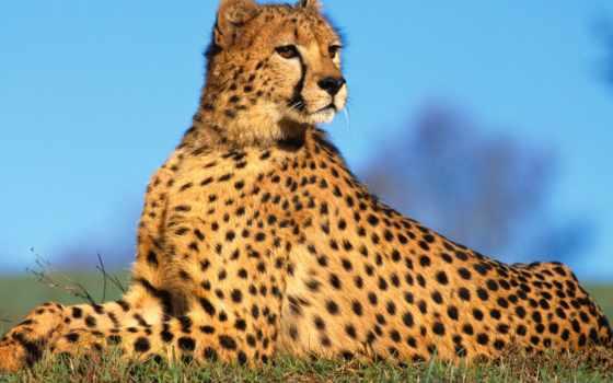 gepard, гепарды, puma