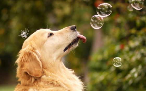 пузыри, собака, мыльные