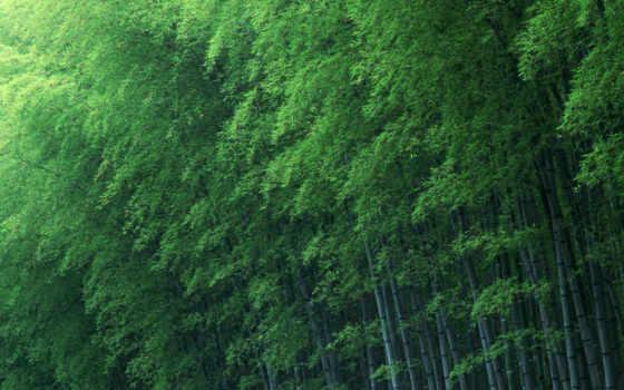 tre, нам, việt, cây, бамбук, bài, giáng, desktop, телефон,