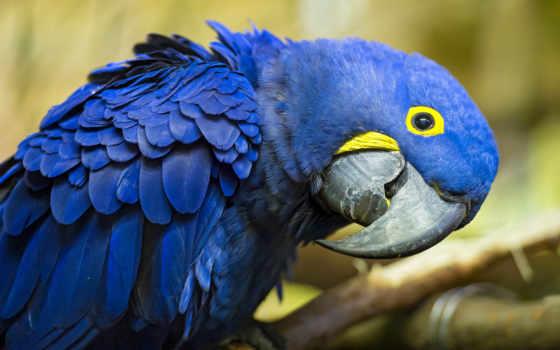 macaw, гиацинтовый, попугай, red, самые, птица, мире, газон, красивые, blue, pinterest,