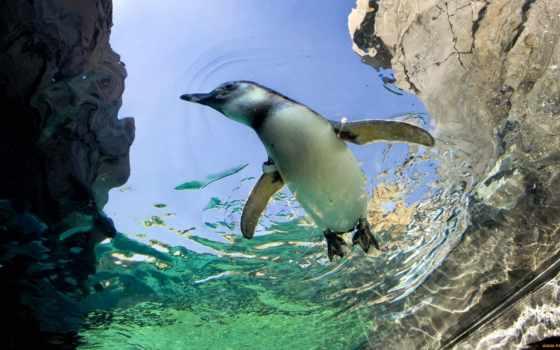 пингвин, водой, под