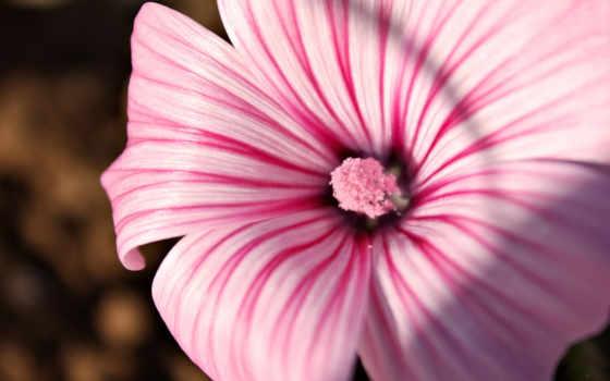 розовый, цветок, полоску, картинку, картинка, правой, кнопкой, save, разрешением, скачивания, ней, выберите, мыши,