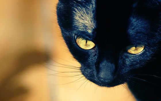 чёрная кошка с жёлтыми глазами