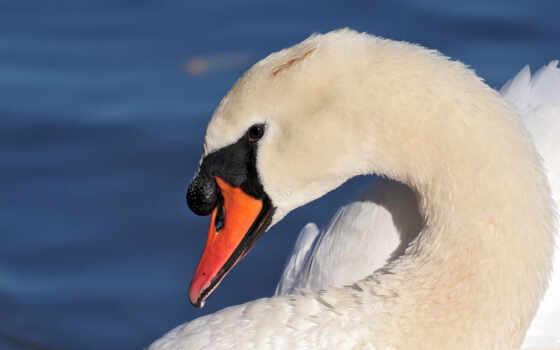 голова, swans, profile