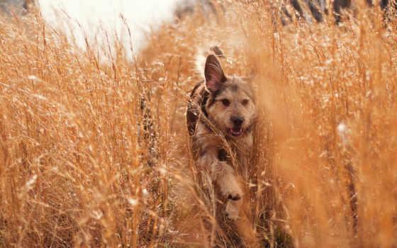 собака, трава, природа, поле, бежит, собаки, success, луг,