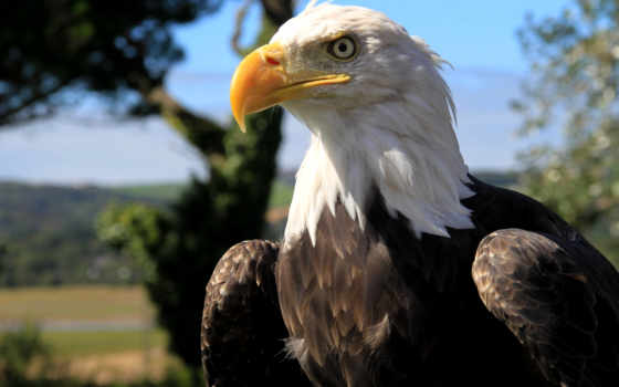 , птица, орлан, белоголовый, хищник,