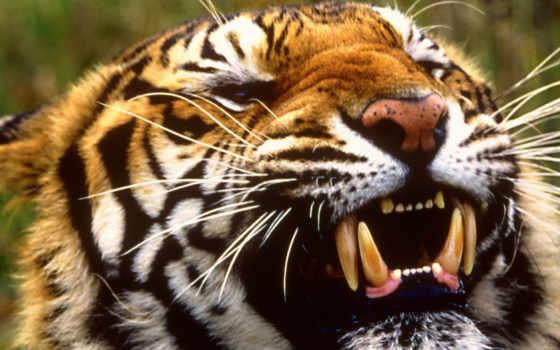 ухмылка, тигр, тигра, хищник, телефон, тату, тигры, кошки, кошек, красивые,