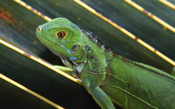 pictures, lizard, free, download, ящерица,