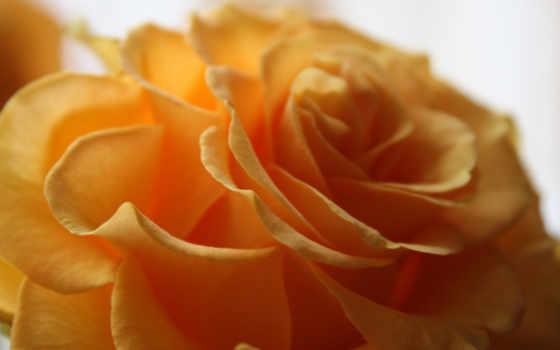 макро, цветок, желтый