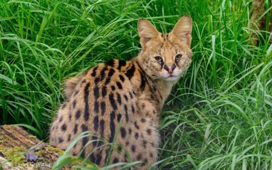 кошка, морда, сервал, дикая, кустарниковая, категории, хищник,