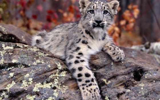 снег, леопард, small