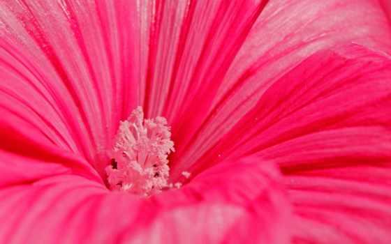 природа, цветы, макро, высоком, розовый, лепестки, пион,