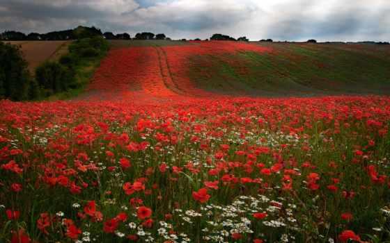 цветы, наша, природа, прекрасная, картинка, kamilla, images, vadvirág, flowers,