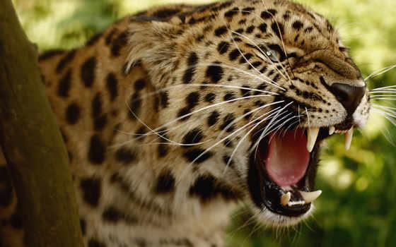 zhivotnye, разные, темы, природы, пейзажи -, sony, дикие, леопарды, iphone, страница, rylik,