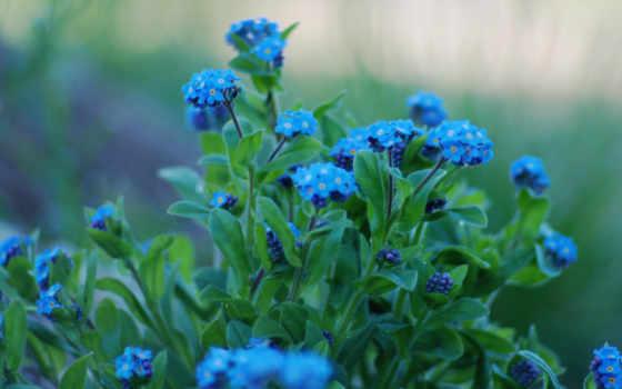 природа, макросъемке, cvety, голубые, красивые, разрешениях, разных, незабудки, качестве,