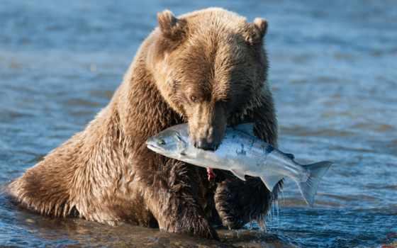 медведь, браун, медведя, еда, бурого, медведи, grizzly, мишка, ordinary, млекопитающее,