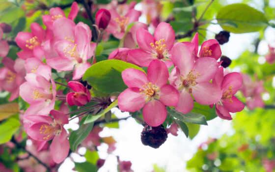 весна, branch, yablonya, цветение