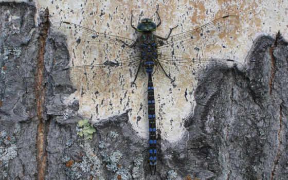 dragonfly, стрекоза