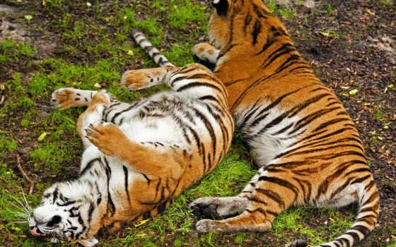 два тигра валяются