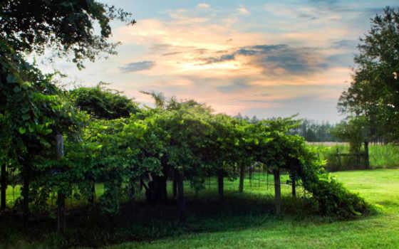 виноградник, зелень