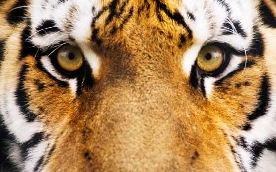 морда, тигр, глаза