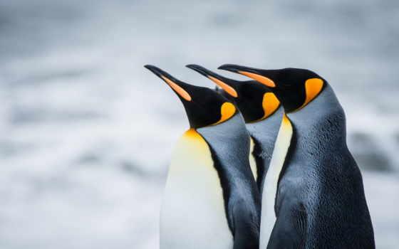пингвины, antarctic, королевские