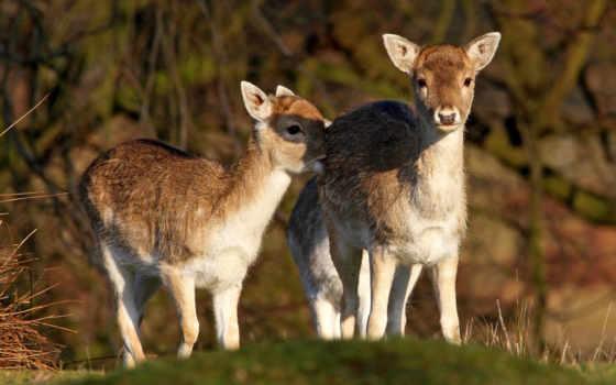 sarenki, dwie, małe, las, jeleń, trawa, tapety, jelenie,