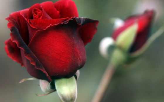 бутон, роза, красная