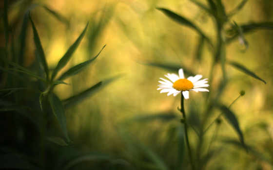 макро, цветы, трава, ромашка, зелёный, cvety, per, fiori, sfondi,
