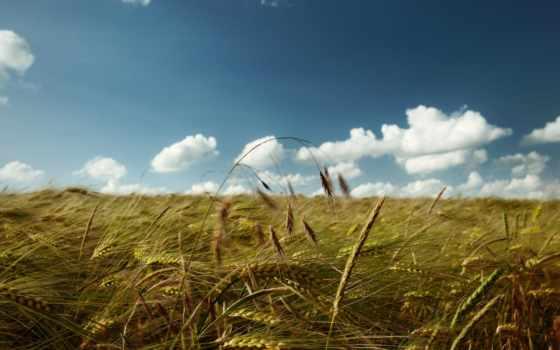 колосья, поле, небо, oblaka, sun, макро,