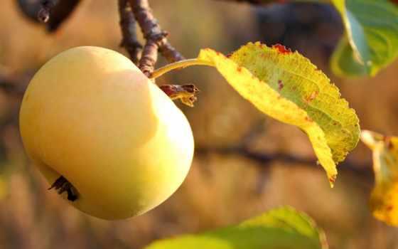apple, жёлтое, плод, garden, спелое, листва, сада, присушка, вкусно,