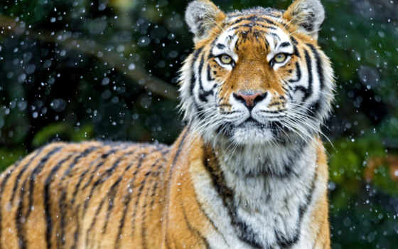 cats, wxga, mobile, лес, снег, wild, sxga, uxga, экрана, vga,