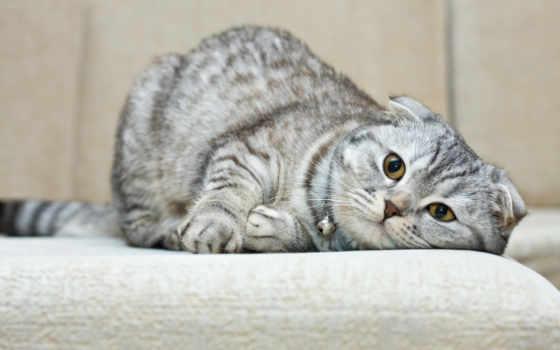 кот, вислоухий, scottish, live, сколько, котенок