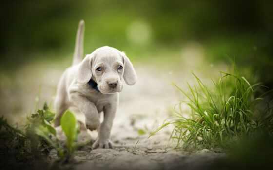 собака, щенок, коллекция, тропинка, веймар, бежать, cute, side, legavyi, card, трава