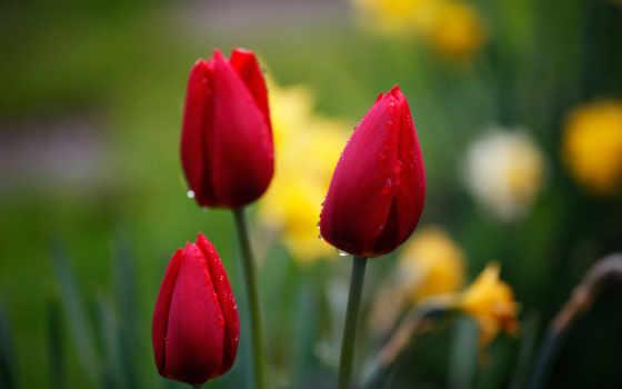 тюльпаны, бутоны, red