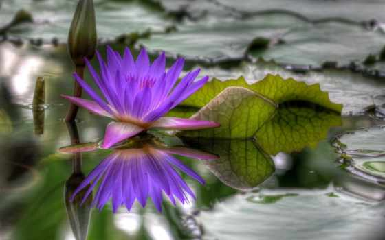 лилия, водяная, кувшинка, белая, цветок,