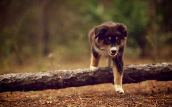 собаки, прогулка, щенок