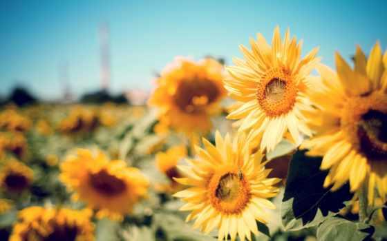 sunflowers, подсолнух, free, об, поле, ферма, desktop,